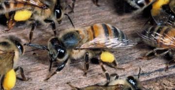 Африканская пчела
