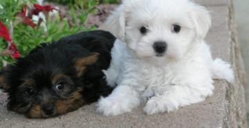 Власоеды у собак