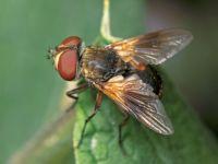 мухи-тахины