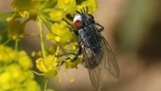 Вольфартова муха