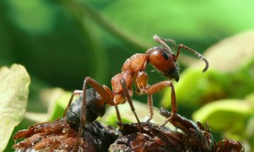 Взрослая особь муравья