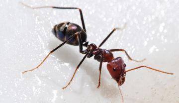 Взрослый муравей