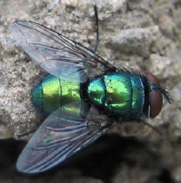 Зеленая муха мясная
