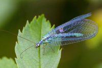 златоглазка насекомое