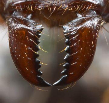 Жвалы муравья