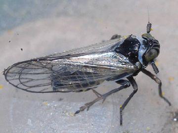 Бледная цикадка