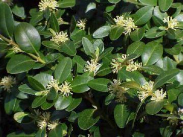 Листья самшита