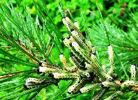 Вредители хвойных растений
