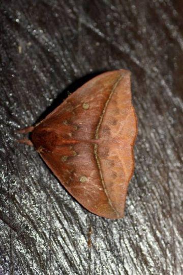 Бабочка лономии на дереве