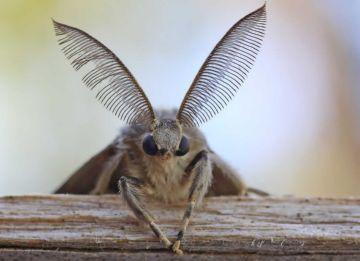 Голова непарного шелкопряда