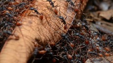Кочевые муравьи