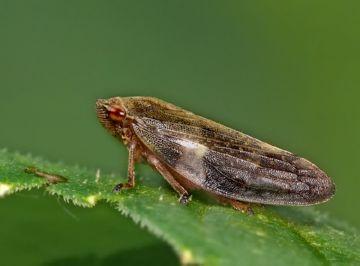 Корневая цикадка