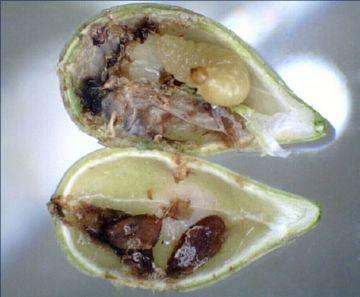 Личинка рапсового семенного скрытнохоботника