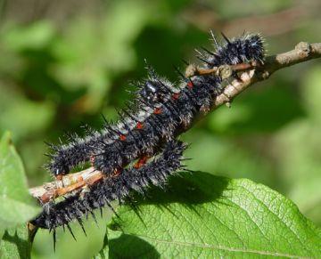 Личинки бабочки траурницы