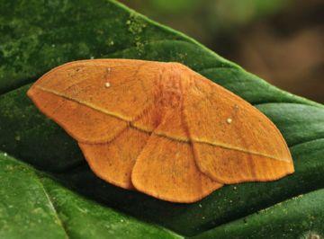 Бабочка лономии