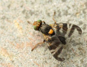 Взрослая особь вишневой мухи