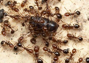 Огненные муравьи с добычей