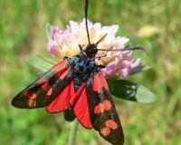 пестрянка бабочка