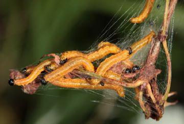 Гусеницы ткачей