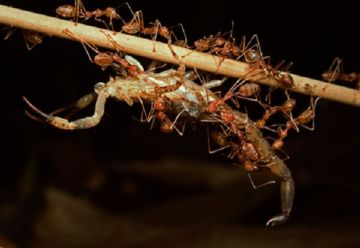 Охота бродячих муравьев