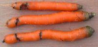 вредители моркови