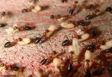 Муравьи и их личинки