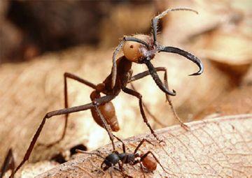 Самка кочевого муравья