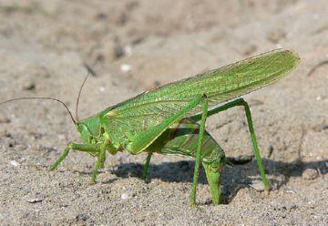 Самка зеленого кузнечика