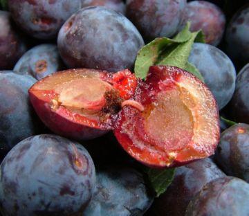 Обыкновенная сливовая плодожорка
