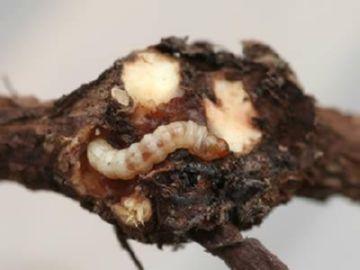 Гусеница почкового смородинного клеща