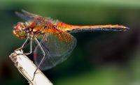 стрекоза насекомое