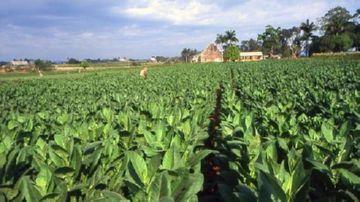 Табачное поле