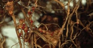 Вредители на корнях