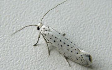 Бабочка горностаевой моли