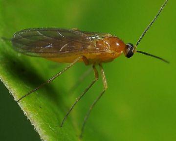 Комарик огуречный