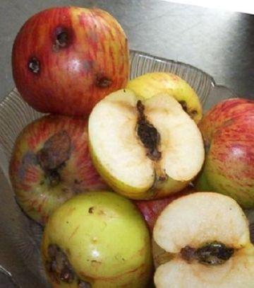 Зараженные яблоки