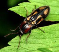жуки-щелкуны