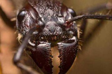 Жвала муравья-пули