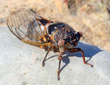 Темная цикада