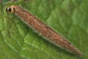 Гусеница чехлоноски