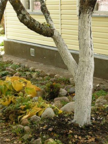 Обработка деревьев побелкой