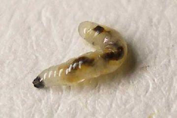 Личинка огуречного комарика