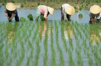 вредители риса