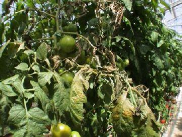 Ржавый клещ на помидорах