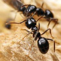 садовые муравьи методы борьбы