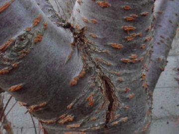 Трещины в коре