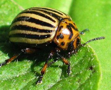 Колодадский жук