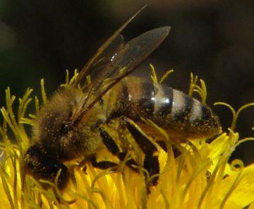 Карпатская медоносная пчела