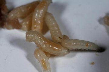 Личинки поселковой мухи