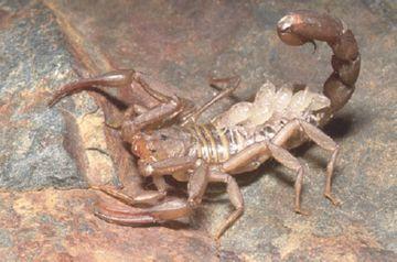 Самка скорпиона с детьми